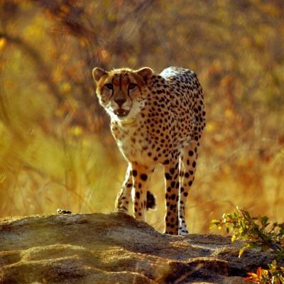 Chita corriendo en una reserva de vida silvestre en Sudáfrica.